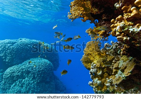 Onespot snapper on the coral reef - stock photo