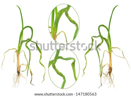 Onion attacked by onion eelworm, Ditylenchus dipsaci - stock photo