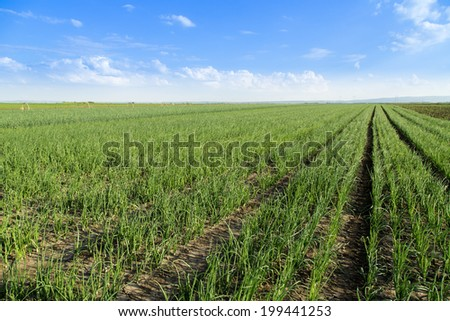 Onion field, maturing at spring. Agricultural landscape - stock photo