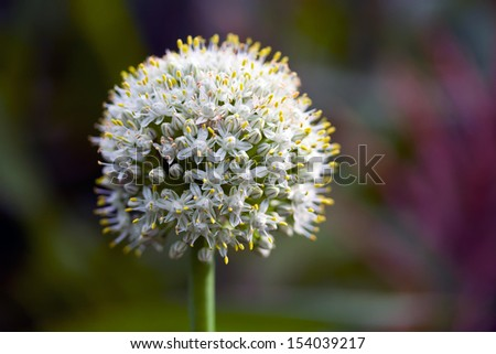 Onion flower - stock photo