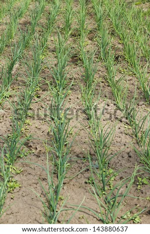 Onion sprouts in early spring - stock photo