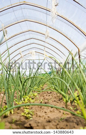 Onion sprouts in early spring in an orangery - stock photo