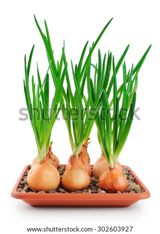 Onions, green onions isolated on white background. Close-up. - stock photo