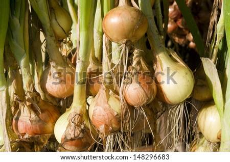 Onions hanging to dry in the organic vegetable garden Groentenhof in Leidschendam, Netherlands. - stock photo