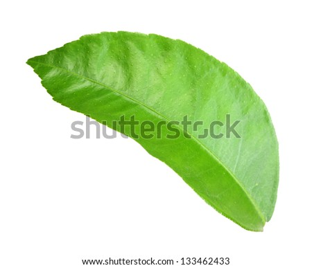 Only green leaf of citrus-tree. Isolated on white background. Close-up. Studio photography. - stock photo