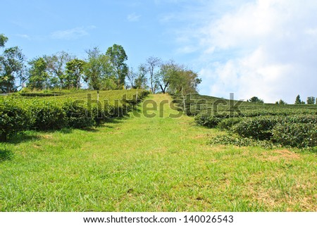 Oolong tea plantation in a row on the mountain, Thailand. - stock photo