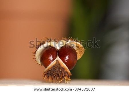 Open chestnut in the form of a face looking at the viewer - stock photo