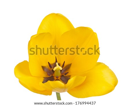 Open flower of a yellow tulip cultivar (Tulipa species) with stigma and black anthers isolated against a white background - stock photo