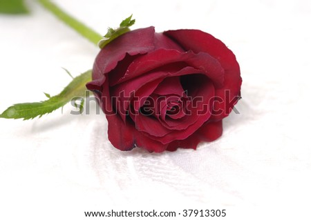 Open Red Rose isolated on White - stock photo