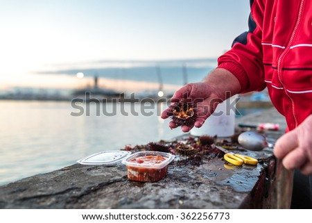 Opening fresh sea urchins on the seaside of Livorno, Italy - stock photo