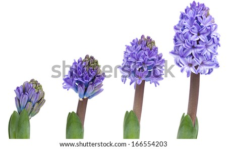 opening pink hyacinth, process over a few days, isolated on white - stock photo