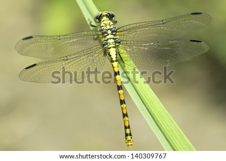 Ophiogomphus cecilia  / Green Snaketail dragonfly, female - stock photo