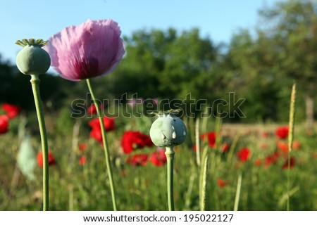 Opium poppy field - stock photo