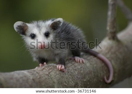 Opossum Baby - stock photo