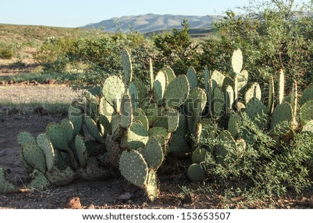 Opuntia cactus vegetation grows in Gila Box Riparian Conservation Area near Safford, Arizona, USA/Closeup of Prickly Pear Cactus in Summer Landscape of Semi-Desert/Prickly Pear Cactus during summer  - stock photo