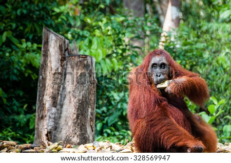Orang Utan female with bananas in Tanjung Puting National Park Kalimantan Borneo Indonesia - stock photo