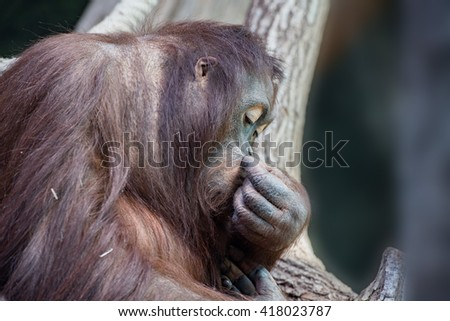 orang utan monkey portrait while looking at you - stock photo