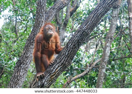 Orang Utan of Borneo in the wild half standing on a branch of a tree. The Orang Utan of Borneo is a protected endangered species by the government.  - stock photo