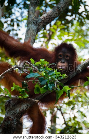 Orang Utan sitting on a tree in the jungle, Kalimantan, Tanjung Puting Borneo, Indonesia - stock photo