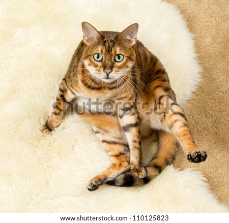 Orange and brown bengal kitten cat playing on a wool rug - stock photo