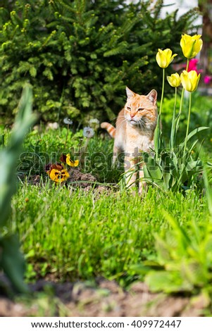 Orange and white colored domestic cat, hunting in the flowers garden - stock photo