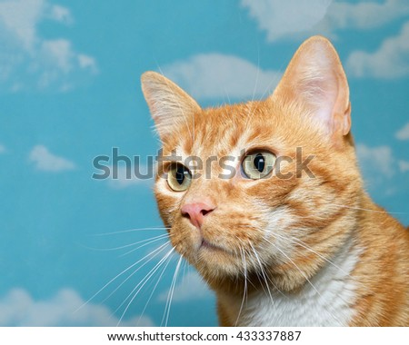 Orange and white tabby cat profile portrait with blue background with white clouds. - stock photo