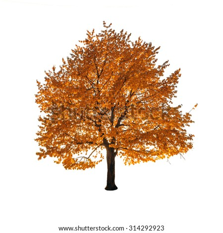 orange autumn tree isolated on white background - stock photo