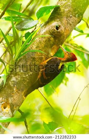 Orange-backed Woodpecker in a bout Kinabalu park,and Ha la ba la thailand ,Malaysia, - stock photo