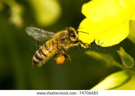 orange bee flying to a yellow flower - stock photo