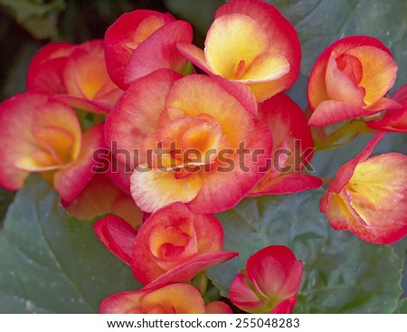 orange begonia flowers closeup in the garden - stock photo