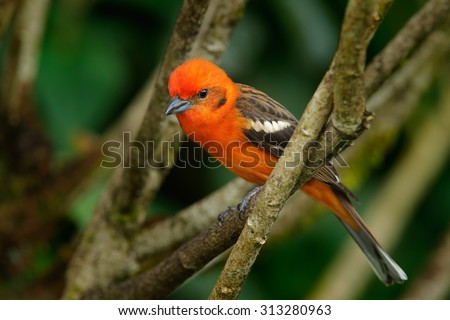 Orange bird Flame-colored Tanager, Piranga bidentata, Savegre, Costa Rica - stock photo