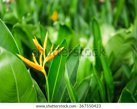 orange bird paradise flower with green leaves - stock photo