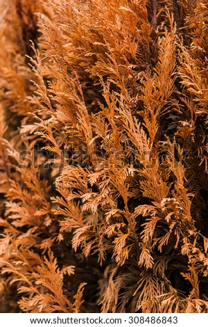 Orange brown dried and died branch of thuja tree close up detail  - stock photo