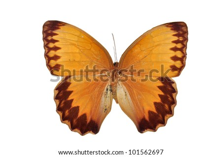 Orange butterfly (The Burmese Junglequeen, Stichophthalma louisa siamensis) isolated on white background - stock photo