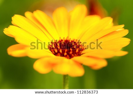 Orange calendula against the green grass. close-up - stock photo