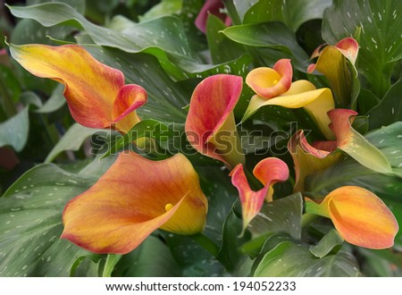 orange calla lily with many leaves as floral background - stock photo