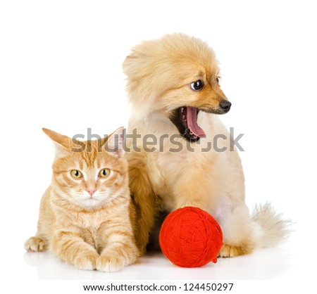 orange cat and dog. cat looking at camera. isolated on white background - stock photo