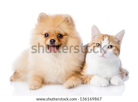 orange cat and spitz dog together. looking at camera. isolated on white background - stock photo
