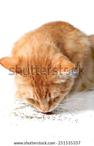 Orange cat eating catnip, a favorite treat of felines - stock photo