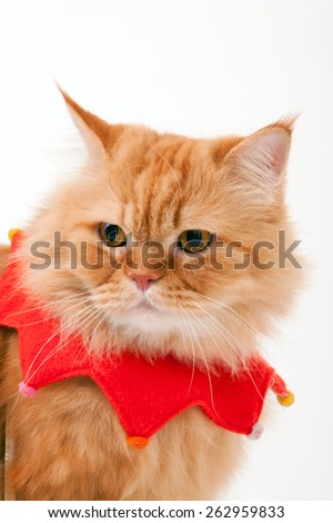 Orange cat / Garfield cat / christmas cat / collar / fur cat / persian cat  - stock photo