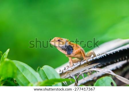 orange chameleon on isolated background - stock photo
