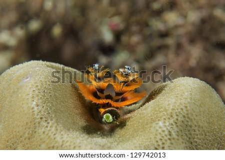 Orange Christmas tree worm on hard coral - stock photo