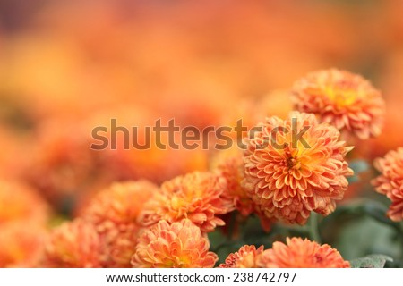 Orange Chrysanthemum Flower in Garden - stock photo