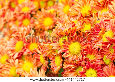 Orange Chrysanthemum flowers with water drop in garden - stock photo