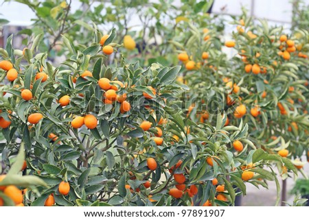 orange citrus fruit in a greenhouse in winter - stock photo