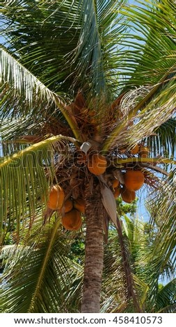 Orange coconuts hanging on coconut palm tree - stock photo
