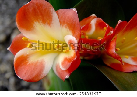 orange color flowers of lily of clivia kind on black background - stock photo