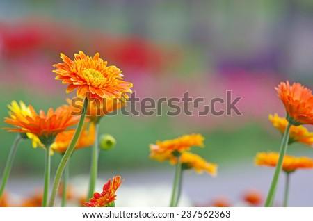 orange colored of Gerbera flower in the flora garden  - stock photo