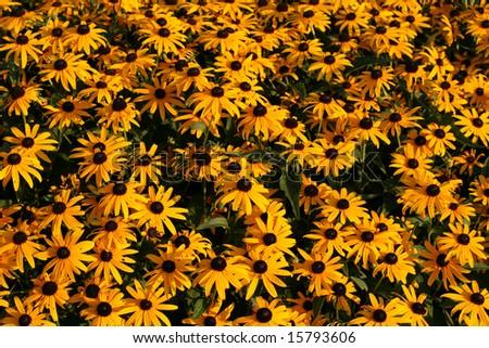 Orange coneflowers - stock photo