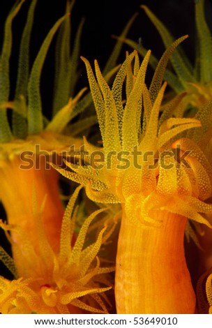 Orange Cup Coral - stock photo